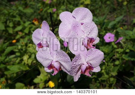 Orchidee phalaenopsis 'Mosella' pale violet five flowers with water drops.