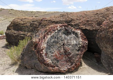 Log of Petrified wood specimen in it's natural outdoor setting