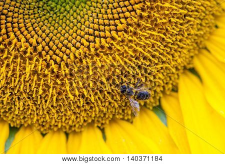 bee is collecting nectar on the sunflower