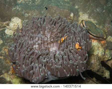 the clown fish in soft coral in Myanmar divesite