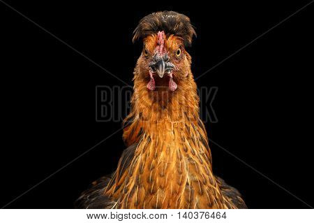 Closeup Ginger Chicken Curious Looks Isolated on Black Background in Front view