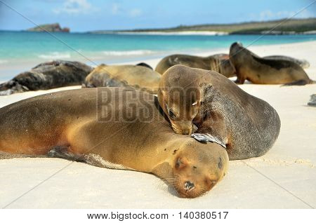 Sea lion family bathing in the sun with a juvenile playing with his mom
