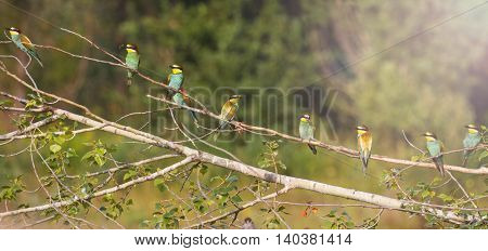 Panorama from Birds of Paradise, ,flock of colored birds, unique moment, european bee eater, with sunny hotspot