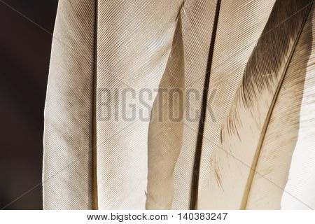 Gray pigeon feathers close up texture as background