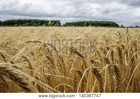 Crop of ripening golden barley in a farm field in the English countryside with central stalk in focus