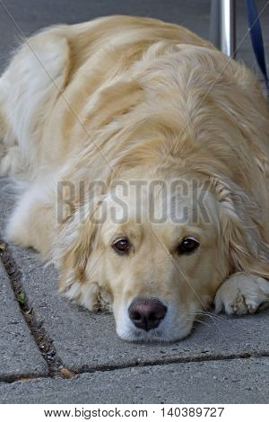 Close up of a beautiful Golden Retriever dog lies leashed to a table at an outdoor cafe patiently waiting for a walk to continue