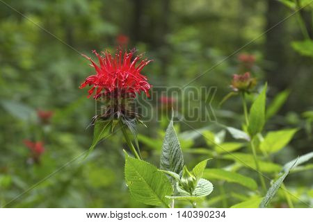 Vividly colored Bee Balm wildflowers resembling bright red fireworks bloom abundantly in a lush deciduous forest in summer