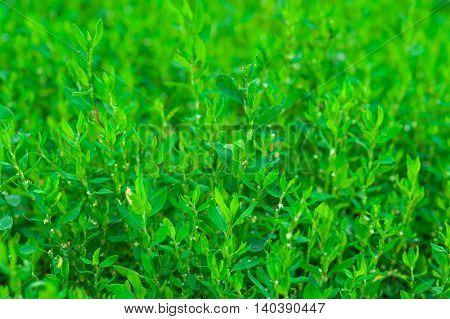 Green knotgrass