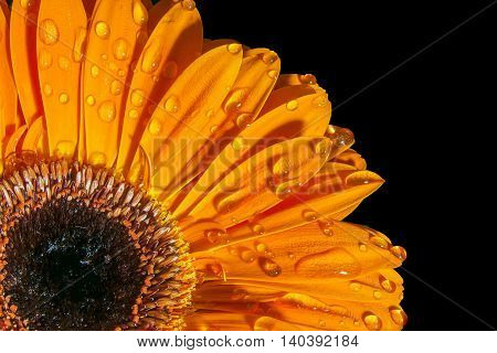 Orange gerbera with water drops isolated on black background