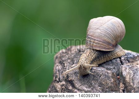 a big  brown grape snail, creeps on a long snag,