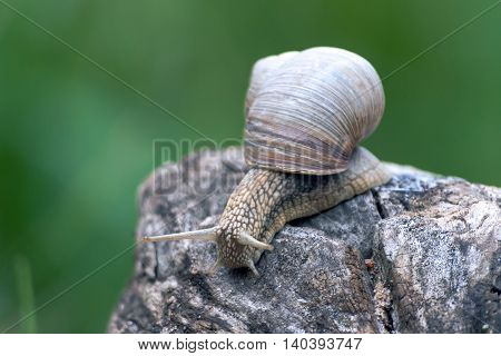 a big grape snail, brown  reeps on a long snag,
