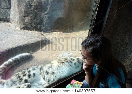 BROOKFIELD, ILLINOIS / UNITED STATES - MAY 21, 2016: A girl looks through a glass window at a snow leopard (Panthera uncia).