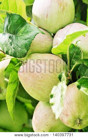 Apples growing on apple tree branch in summer