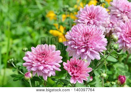 Pink chrysanthemum flowers blooming in the garden.