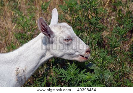 Young  and cute baby goat