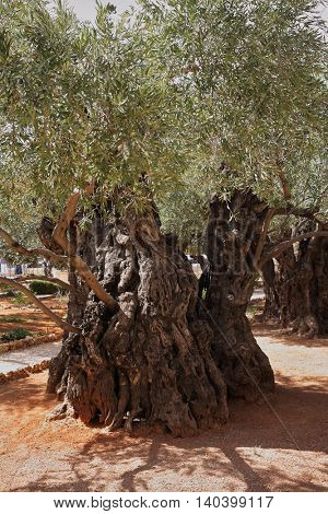 Ancient Jerusalem. One of the eight very old olive trees in the Garden of Gethsemane. Location prayer of Jesus before his arrest