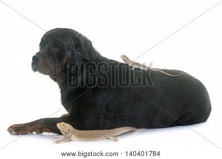Pogona vitticeps and rottweiler in front of white background