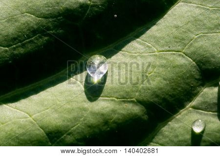 Cabbage With Waterdrops
