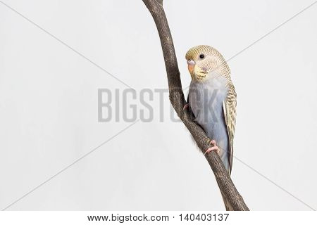 Little Budgerigar on branch and white background