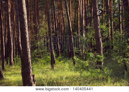 pine forest with green grass and sunlight