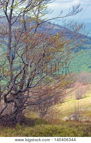 Curved tree in mountains in the spring