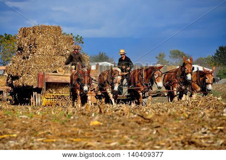 Lancaster County Pennsylvania - October 17 2015: Three Amish farmers baling dried corn stalks using a threshing machine pulled by five donkeys *