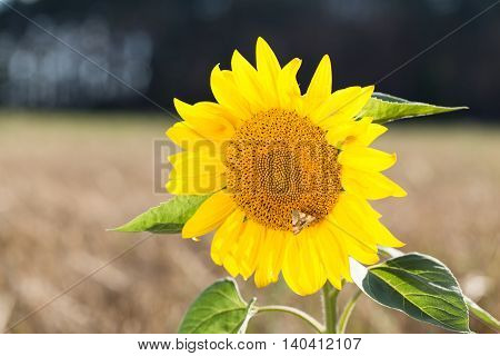 Butterfly sits on a sunflower. Sunflower grows in the field with wheat. Agricultural land with cereal crops.