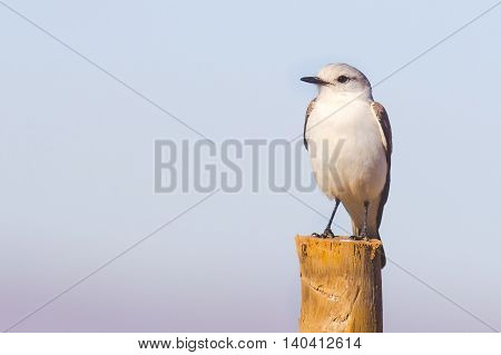 White-rumped Monjita (Xolmis velatus) resting on trunk