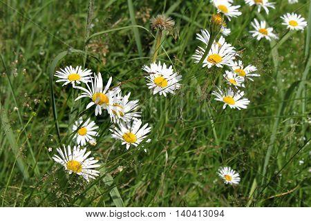 Close up of beautiful wild white daisies