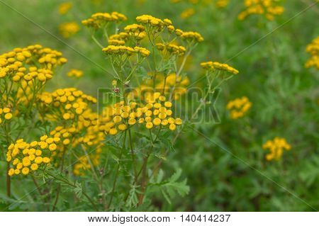 Tansy (Tanacetum vulgare) - flowering herbaceous plant at summer time in wild nature
