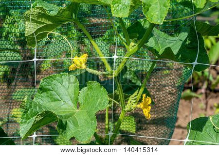 The Growth And Blooming Of Garden Cucumbers