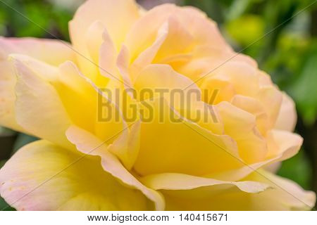 Yellow rose closeup. Photo texture and nature background.