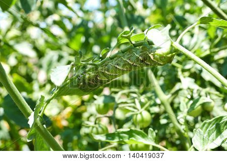 Pest On The Tomamto - Tomato Hornworm