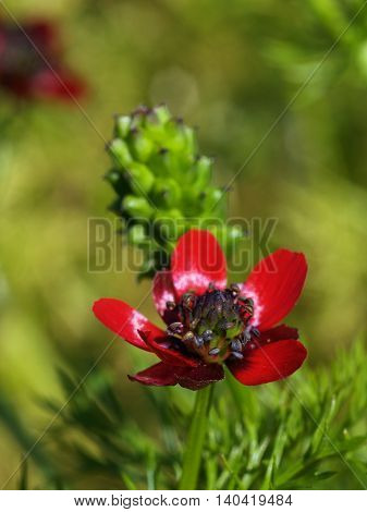 Macro of blossoming cultivar of red adonis flower