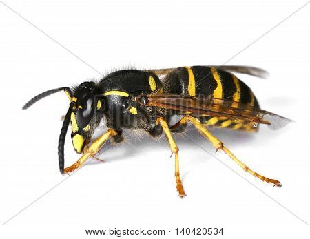 Wasp isolated on white background drop shadow