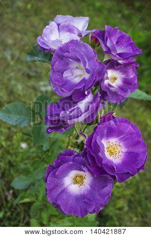 Delightful fragranced floribunda roses named Blue for you in the garden. Blooming in spring and summer. Garden landscape