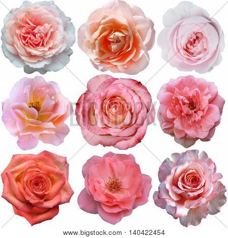 Set of pink roses isolated on the white background