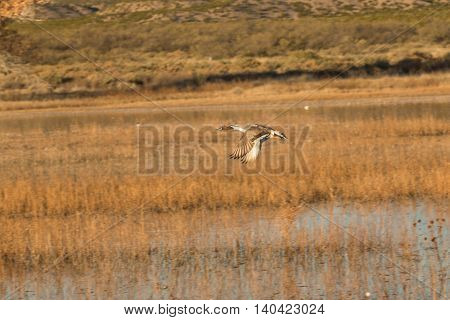 a drake pintail duck in flight over a marsh