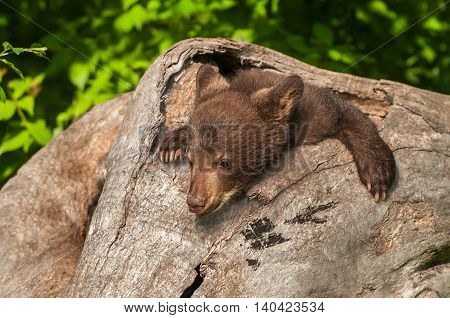 Black Bear Cub (Ursus americanus) in Log - captive animal