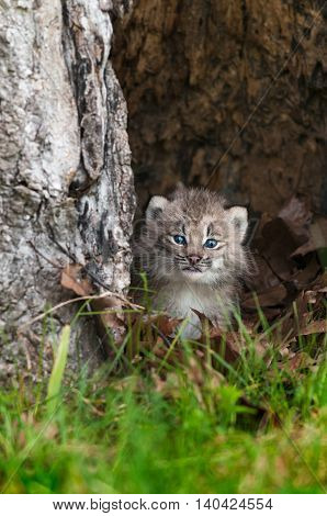 Canada Lynx (Lynx canadensis) Kitten Calmly Looks Out - captive animals