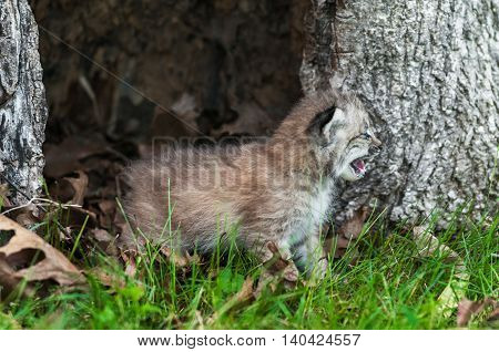 Canada Lynx (Lynx canadensis) Kitten Cries to the Right - captive animal