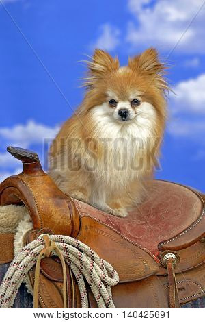 Pomeranian Dog long-haired standing on western Saddle watching