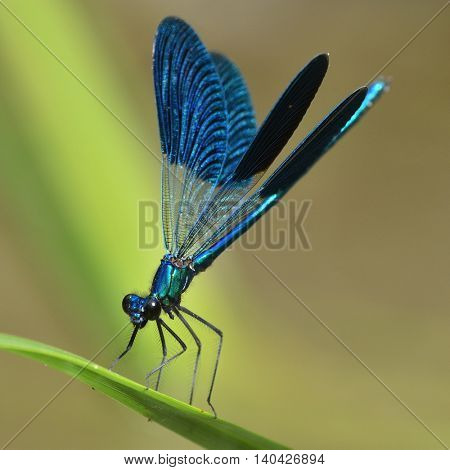 dragonfly outdoor in summer (coleopteres splendens)