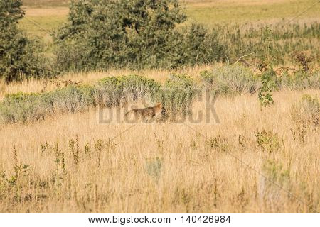 Profile of coyote in the grasslands panting with open mouth near the Great Salt Lake in Utah