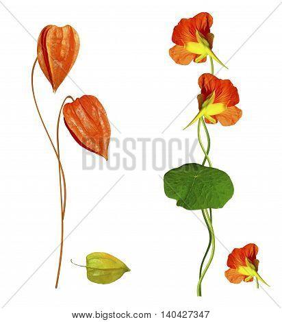 colorful beautiful flowers nasturtium isolated on white background