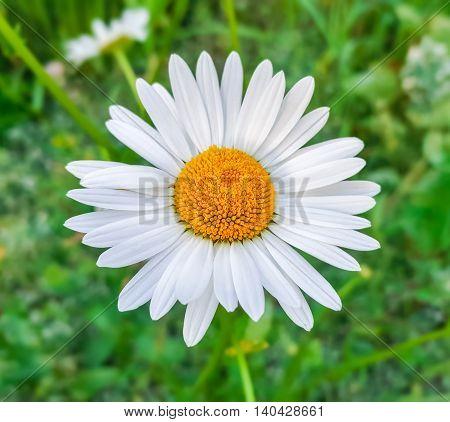 Beauty White Daisy Flower