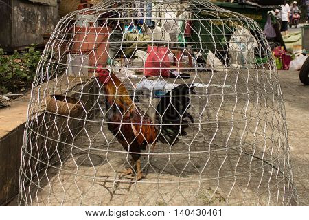 fighting cock in cage on the street
