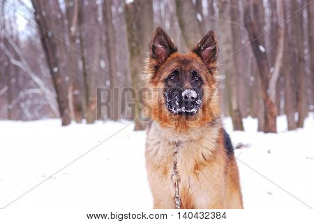 Portrait of a beautiful fluffy German shepherd dog Junior puppy in a winter snowy field.
