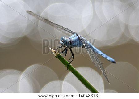 dragonfly in natural habitat in summer