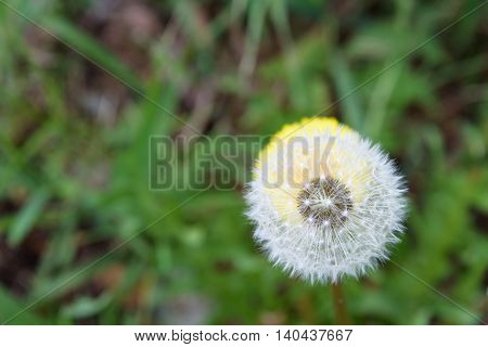 Closeup of dandelion in full seed, with dandelion flower behind